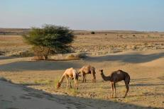 The camels were let go for the night, feet tied together with a short rope so they wouldn't get far, to find their own food.