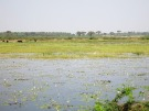 You have to cross a beautiful waterllily swamp full of buffalo and birds to get to Diu.... and it STINKS!