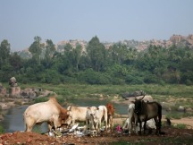 Cows rummaging through the local rubbish dump