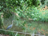 almost looks like a Monet, right... it's a real heron though!